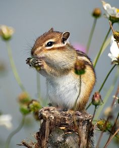 Chipmunk...reminds me of summers spent in the Pocono mountains when I was really young.