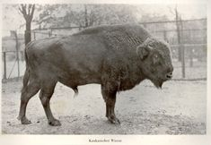 CAUCASIAN WISENT  (BISON) ~ Extinct Animals ~ The failure to curb local poaching resulted in the extinction of Caucasian Wisent, with the last reported individual being killed in 1927. http://www.buzzle.com/articles/extinct-animals-in-the-last-100-years.html#bubal-hartebeest