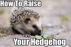 Hedgehog for sale HQ. Your one stop shop for hedgehogs as pets needs! http://www.hedgehogforsalehq.com/