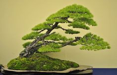 white pine bonsai by Bjorn Bjorholm and featured in an episode of Bonsai Art of Japan. My favorite example of the 'mother-daughter' image.