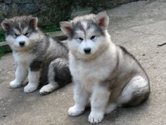 Cachorros de alaskan malamute