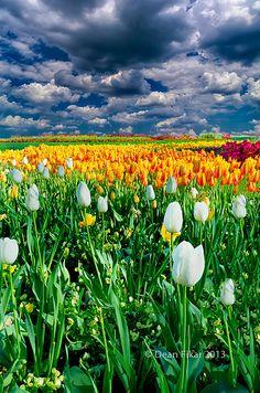Spring Tulips, Dallas Arboretum and Botanical Garden, Texas