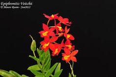 Orquidea Epiphronitis Veitchii