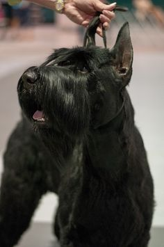 Giant schnauzer ---in the conformation show ring.