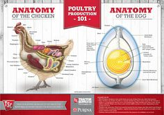 Anatomy of the chicken & anatomy of an egg! Educational poster + LOTS more backyard poultry info and items