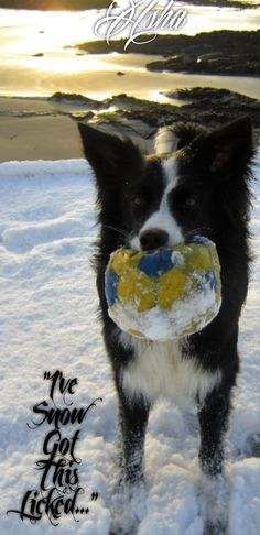 """I've Snow got this licked..."" says Asha the border collie Pet Accessories, Dog Toys, Cat Toys, Pet Tricks"