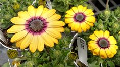 Blue Eyed Beauty African Daisy (Osteospermum ecklonis 'Balostlueye') at Snavely's Garden Corner Garden Border Edging, Garden Borders, Daisy Flowers, Yellow Flowers, Indigo Eyes, Alpine Garden, Herbaceous Perennials, Types Of Soil, Container Plants