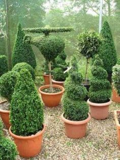 If you are searching for the perfect garden plant, consider growing Boxwood, also known as Buxus sempervirens or Box, in your garden. It's such a wonderfully versatile shrub that I think it should be used more than it is. Provided Box has the right. Boxwood Landscaping, Boxwood Garden, Topiary Garden, Garden Shrubs, Garden Pots, Boxwood Planters, Potted Garden, Boxwood Topiary, Landscaping Ideas