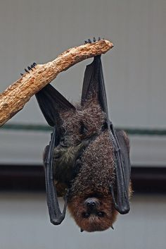 Rodrigues Fruit Bat with baby  -    South Lakes Wild Animal Park,  Dalton-In-Furness, Cumbria  -    *endangered,  only 70 left on the island of Rodriguez,  Indian Ocean by 1974