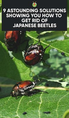 Flower Gardening 9 Astounding Solutions on How to Get Rid of Japanese Beetles - Winning 'The Battle of the Beetles' with 9 practical ways showing you how to get rid of Japanese Beetles, either organically or useful alternative methods. Garden Bugs, Garden Insects, Garden Pests, Garden Care, Lawn And Garden, Herbs Garden, Killing Japanese Beetles, Organic Gardening, Gardening Tips