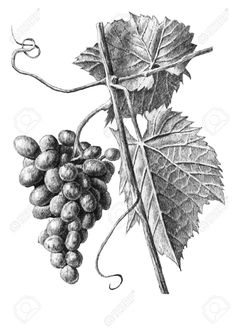 Find Illustration Grapes Leaves On White Background stock images in HD and millions of other royalty-free stock photos, illustrations and vectors in the Shutterstock collection. Thousands of new, high-quality pictures added every day. Grape Drawing, Drawing Sketches, Art Drawings, Sketching, Stippling Drawing, Tree Drawings Pencil, Grape Tree, Vine Tattoos, Still Life Drawing