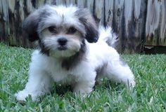 My Shichon - KAI  [ Zuchon - Teddy bear puppy ] [ Shih-tzu / Bichon ]