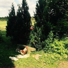 Och här har vi vårt gamla gäng på gården som är lite mer avslappnade än de nya. #butikgul #siesta #åsbohöns #bonnaliv #livsstil