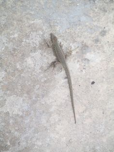 Visitor - a little cute lizard - everywhere in Malta!