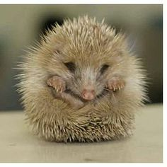 hedgehog....does this little creature not make your heart melt?
