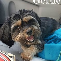 Pictures of Gertie a Shih Tzu for adoption in Metairie, LA who needs a loving home.