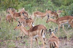 Safari- impala