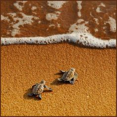 sea turtles;   I just love these brave little guys!