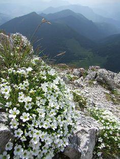 Mountain flowers in Malá Fatra National Park, Slovakia.
