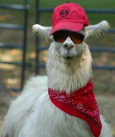 When this gent had a casual day off. | 17 Times Llamas Were Majestic