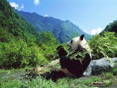 Pandas Eating Bamboo Wallpaper