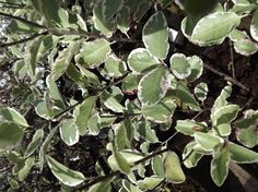 Pittosporum 'Garnettii' - ( Kohuhu ) AGM Family Pittosporaceae Originating from New Zealand  A large, bushy, upright, evergreen shrub with grey/green leaves, often with pink speckles and wavy, cream margins. Small fragrant black flowers in early summer.