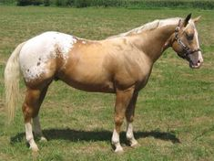 Imagine Me A Dreamer - Show Horse Gallery, A Different Horse is Featured Every Day
