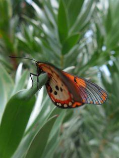 Acrea Butterfly.