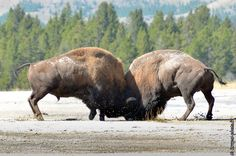 Combat de bisons (from Krupa photographies - Galeries) Buffalo bull fighting in Yellowstone National Park.