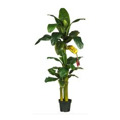 Triple Stalk Banana Silk Tree - 6 Feet Tall *** Click on the image for additional details.