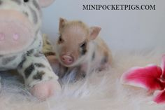 Home - Mini Pocket Pigs Mini Pigs For Sale, Pocket Pig, Indoor Pets, Pet Pigs, Boxing Training, Litter Box, Baby, Animals, Boxing Workout