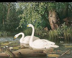 """Whooper Swans On A Lake"",  Ferdinand von Wright (1822-1906)"
