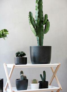Kaktushylly