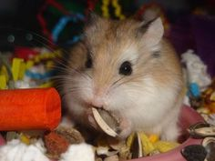 Hrčak / Hamster / je savjesna, izbirljiva i čista /gadljiva/ životinjica.