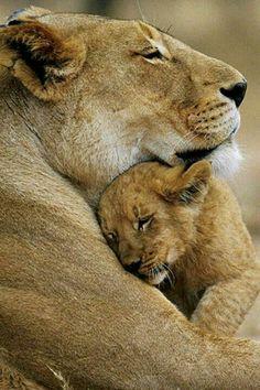 lioness nuzzling her lion cub