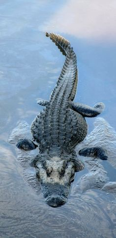 i'm always amazed anytime i see a Crocodile/Alligator! Les Reptiles, Reptiles And Amphibians, Mammals, Water Animals, Animals And Pets, Krokodil Tattoo, Beautiful Creatures, Animals Beautiful, Alligators