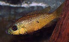 Sarotherodon knauerae