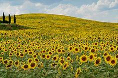 Sunflower field. Tuscany, Italy