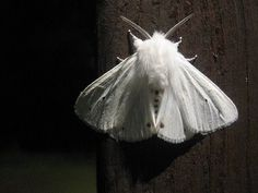 White Ermine moth that came to visit me last night, whilst boxing my belongings to move home. I found this out about them... Moths are nocturnal, and much of their symbolism deals with: Intuition Psychic perception Heightened awareness A MESSAGE OF GROUNDING, BALACE AND PROTECTION. :D