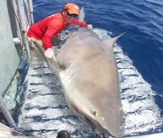 Giant, 1,000-pound bull shark takes researchers by surprise