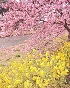 Gorgeous pink and yellow blossom Yellow Aesthetic Pastel, Flower Aesthetic, Blue Aesthetic, Aesthetic Backgrounds, Aesthetic Wallpapers, Picture Wall, Photo Wall, Picture Ideas, Yellow Walls