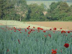 Hautes Pyrenees poppies