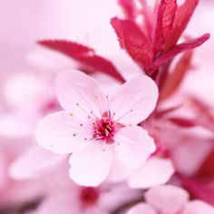 Pink Blossom 1 Fine Art Print by PhotoINC Studio at FulcrumGallery.com
