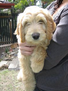 Buddy the #Labradoodle puppy