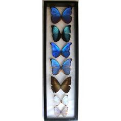 blue morpho butterflies - so gorgeous, so expensive  http://lepidoptera.pro/taxonomy/15028