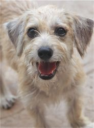 Carmella is an adoptable Terrier Dog in Rowayton, CT. EMAIL ONLY lexisangels2@hotmail.com Carmella is approx 4 months old and 7 lbs at 9-15-13, she is a scruffy little terrier mix, she loves to run an...