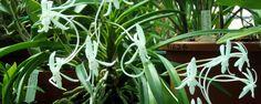 Orquídia do Samurai - Quem vê essa pequena orquídea com folhas em forma de leque e flores perfumadas de 2 cm não entende a origem de seu nome popular. É preciso remontar ao Japão antigo, da época dos samurais, para entender os altos riscos que envolviam coletar uma Neofinetia falcata de uma das selvagens ilhas locai... - http://www.ecoadubo.blog.br/ecoblog/2015/02/13/orquidia-do-samurai/