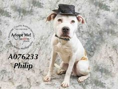 PHILIP - URGENT - located at Manatee County Animal Services in Palmetto, Florida…