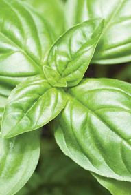 Apothecary Greens: Gallery of Herbs Basil