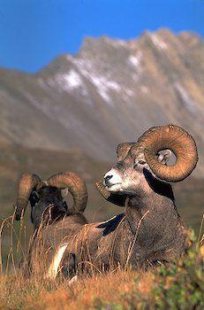 Seeing big horn sheep in Peter Lougheed Provincial Park, Alberta